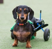 Dachshund IVDD, Disabled Dachshund