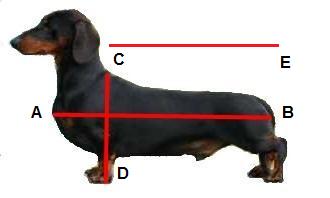 dachshund are o durere articulară