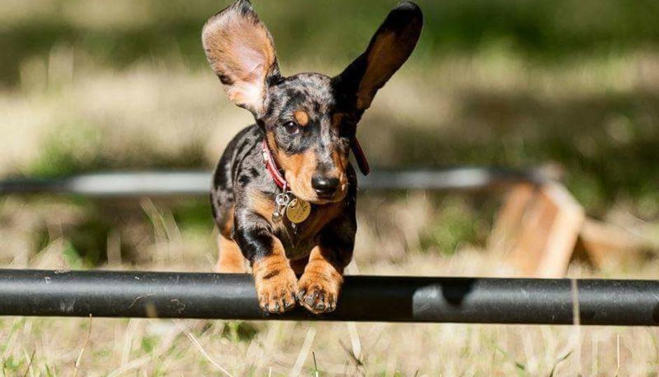 Resultado de imagen para dachshund jumps