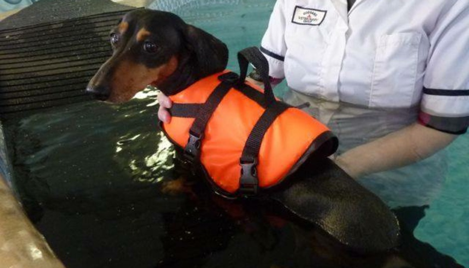 dachshund ivdd rehabilitation